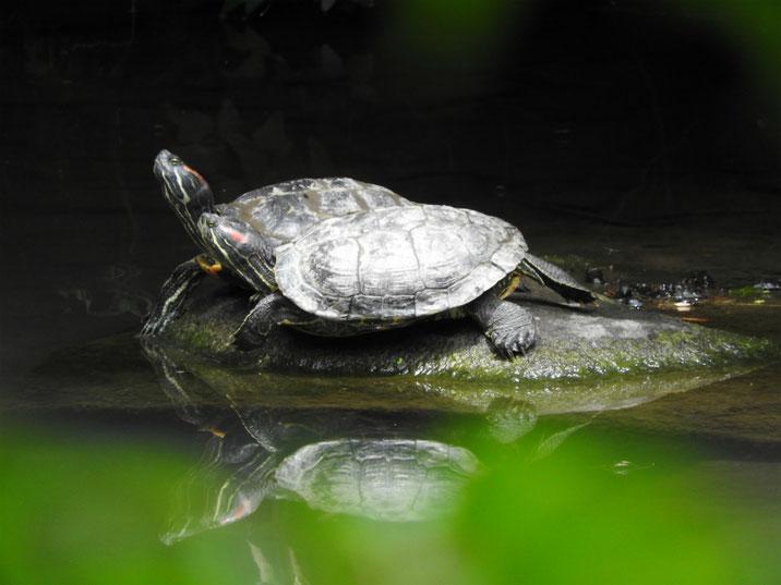 アカミミガメ 散策路親水公園池 180607撮影