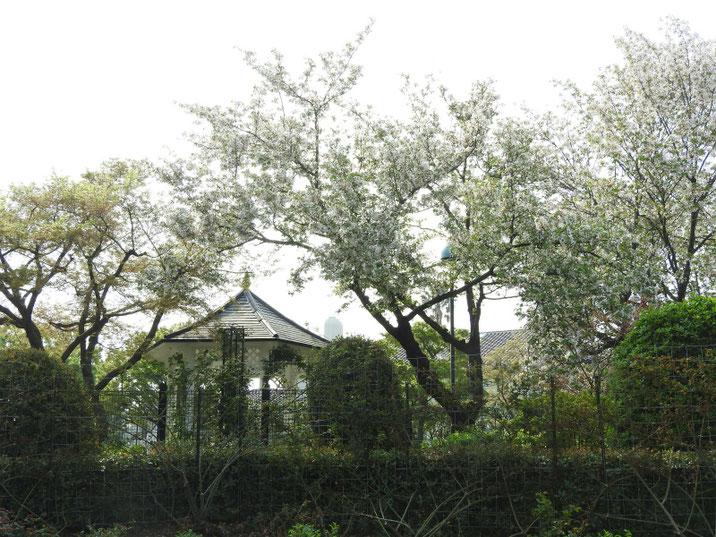 港の見える丘公園 イングリッシュローズガーデン 180403撮影