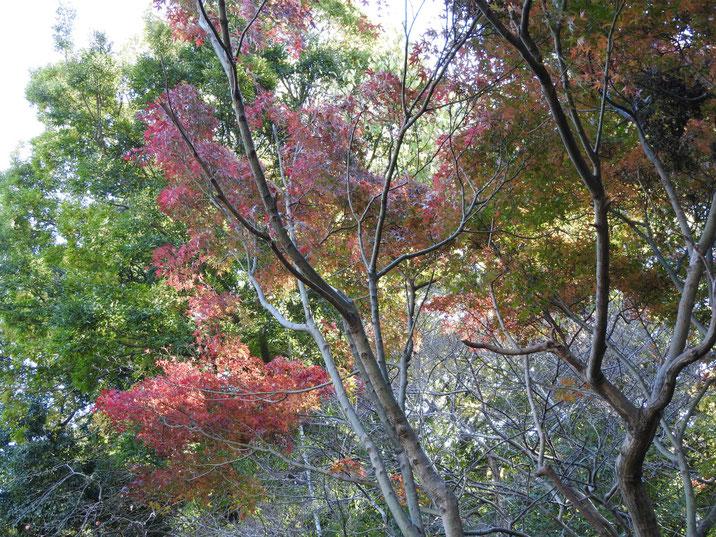 秋の親水緑道の紅葉 2017/11/21撮影
