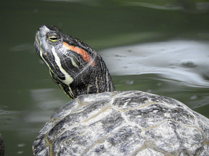 アカミミガメ 散策路親水公園池 180524撮影