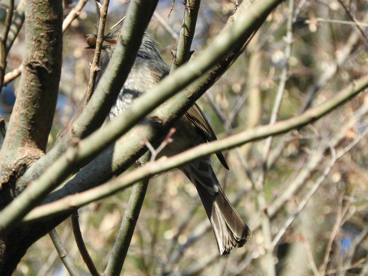 ヒヨドリ(鵯) 親水緑道 180210撮影  こちらは餌を銜えて激しく動くヒヨドリです
