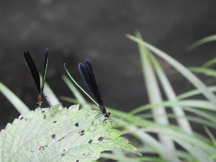 羽黒蜻蛉(はくろとんぼ) 散策路池 2019/08/20撮影