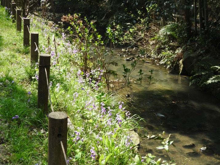 紫花菜が咲く親水緑道の紫花菜 180328撮影