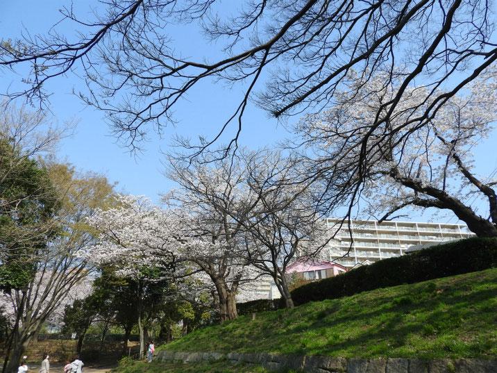 散策路公園の桜 180328撮影