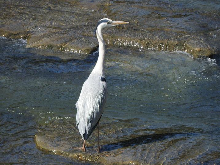 青鷺(あおさぎ) 散策路河川 180430撮影