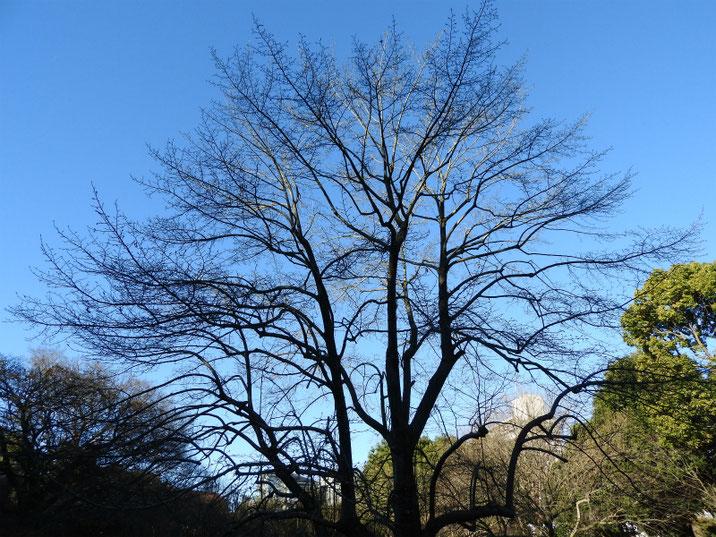 辛夷の木(こぶし) 散策路 180102撮影