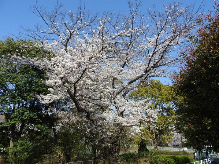 桜道の風景 219/0406撮影