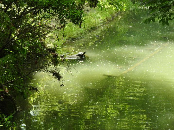 アカミミガメ 散策路親水公園池 2019/05/22撮影