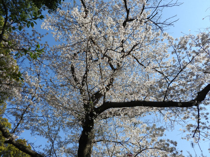 桜の風景 2019/0406撮影