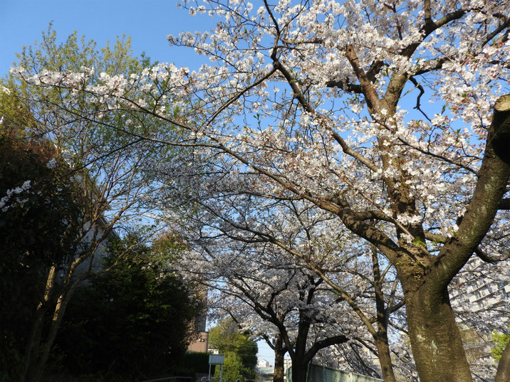 桜道の風景 2019/04/06撮影