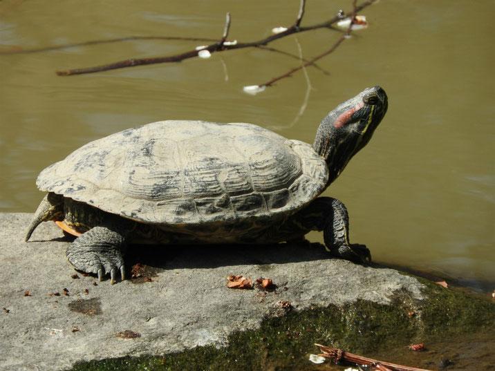 アカミミガメ 散策路親水公園池 180314撮影