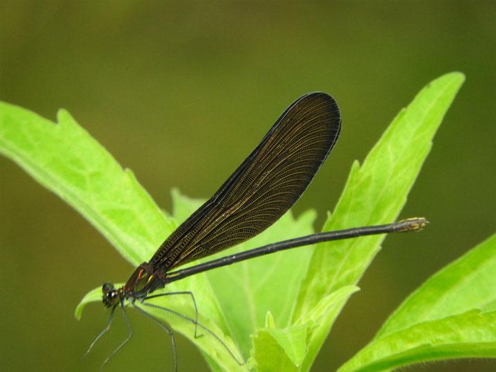 羽黒蜻蛉(はぐろとんぼ) 散策路池 2019/07/02撮影