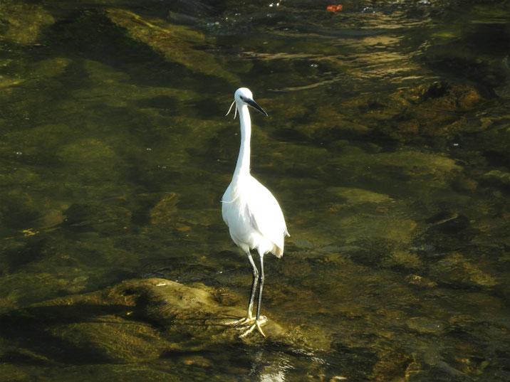 小鷺(こさぎ) 散策路河川 180428撮影