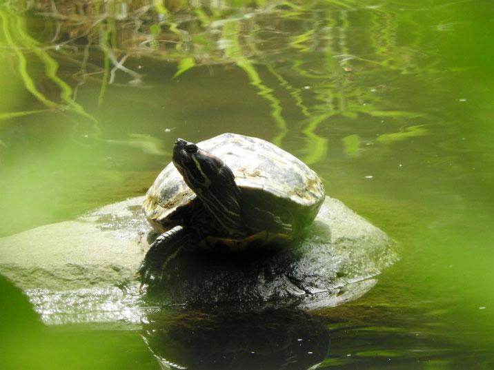 アカミミガメ 散策路親水公園池 180708撮影
