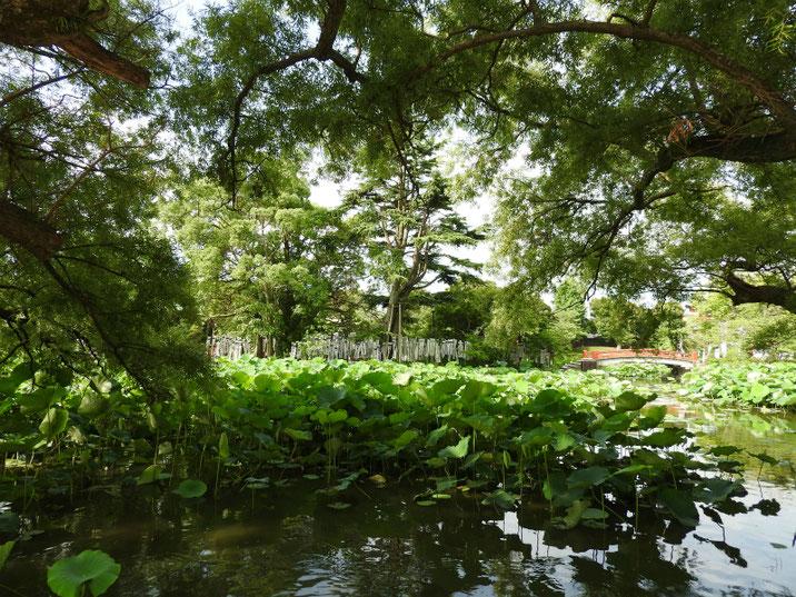 鎌倉鶴岡八幡宮源氏池の夏 170703撮影