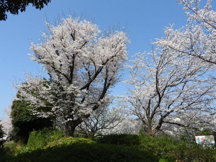 散策路の桜 180329撮影