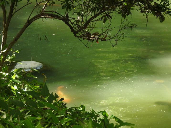 池の鯉 親水公園池 2018/08/18撮影