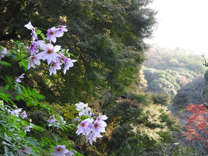 鎌倉瑞泉寺梅林庭園から 2018/11/29撮影