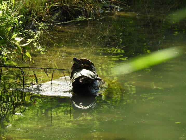 アカミミガメ 散策路親水公園池 180609撮影