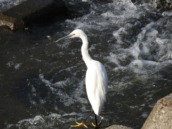小鷺(こさぎ) 散策路河川 180421撮影