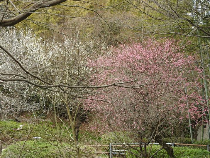 2月の梅 親水公園 2019/02/27撮影