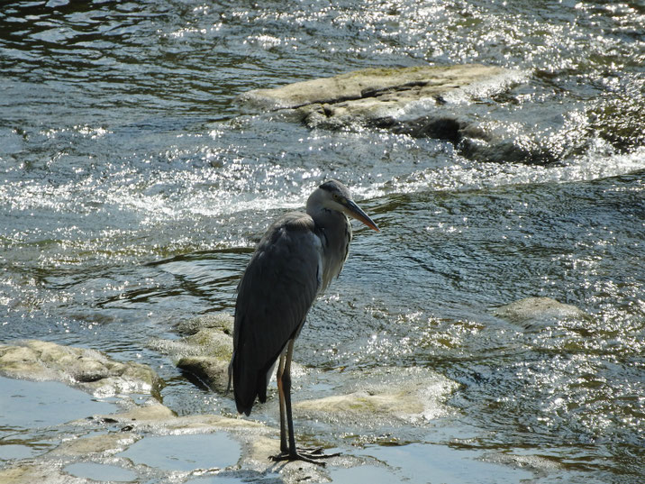 青鷺(あおさぎ) 散策路河川 2019/08/05撮影
