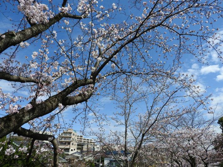 桜咲く散策路 180323撮影