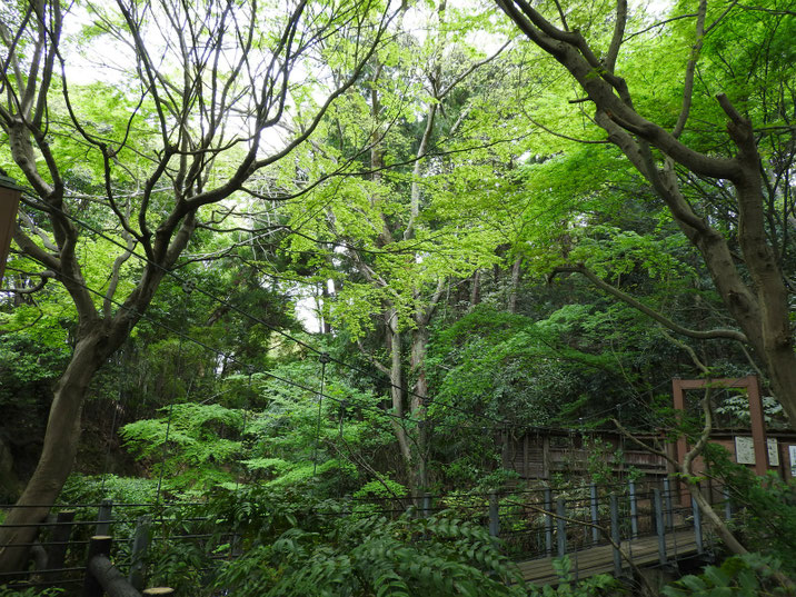 若葉・親水緑道の吊り橋 180412撮影