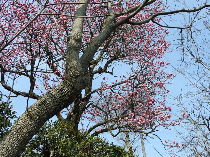 春の梅 170320撮影