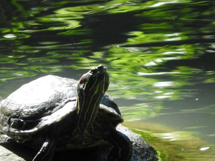 アカミミガメ 散策路親水公園池 2019/06/16撮影