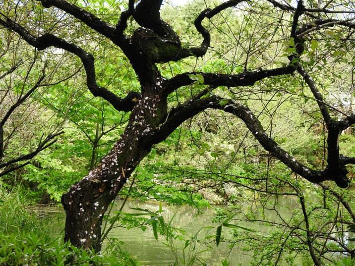 散策路の春の池 170418撮影