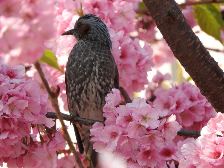 寒桜とヒヨドリ(鵯) 散策路 2019/03/17撮影