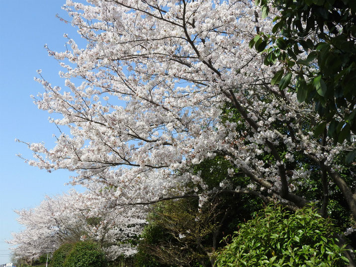 散策路の桜 180331撮影