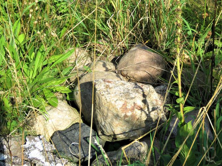 Steinhaufen mit Waldeidechse