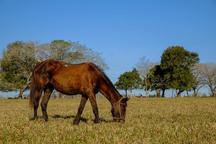Leptospirose bei Pferden Paraguay