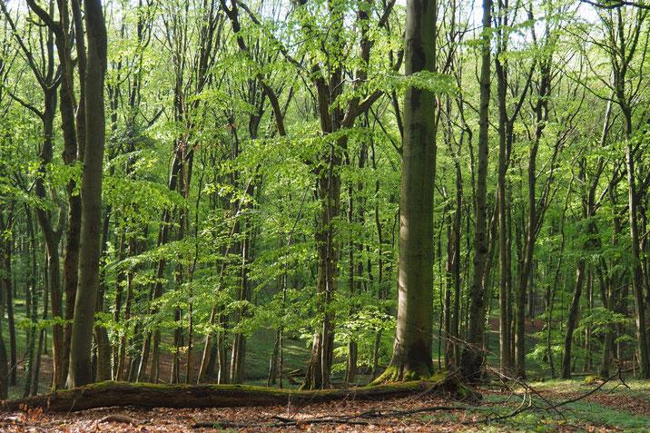 """Foto: Vom Dürresommer 2018 unbeeindruckter buchendominierter Laubwald im Stadtwald Lübeck 2019, seit 100 Jahren nicht """"gepflegt"""". (© P.Ludwig-Sidow)"""