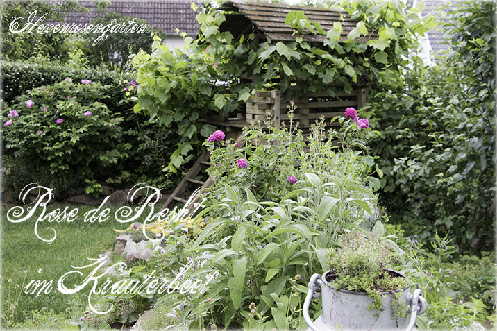 Rosen Hexenrosengarten Rosenblog Duftrosen Damaszenerrose Rose de Resht Kräutergarten