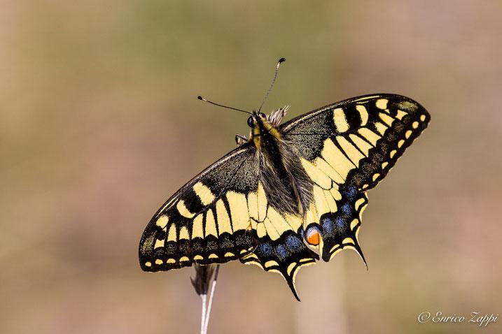 Il Macaone(Papilio machaon Linnaeus, 1758) è una della farfalle più belle d'Europa. Col suo volo leggiadro ed i suoi colori è praticamente inconfondibile.