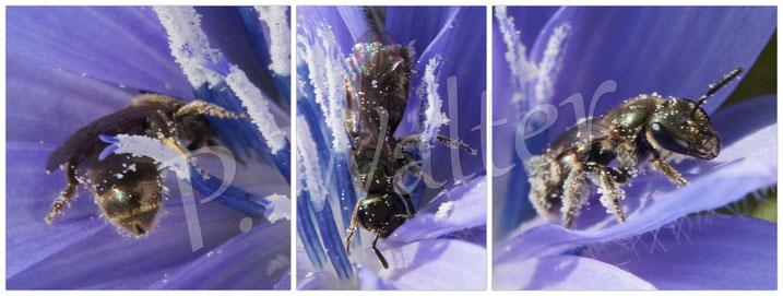 26.09.2015 : Furchenbiene in einer Wegwartenblüte