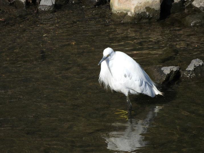 小鷺(こさぎ) 散策路河川 2021/02/09撮影