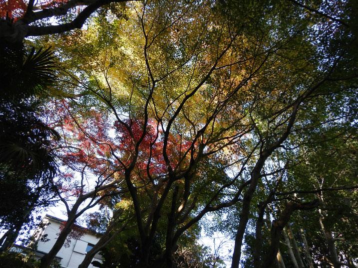 散策路の紅葉 2020/12/08撮影