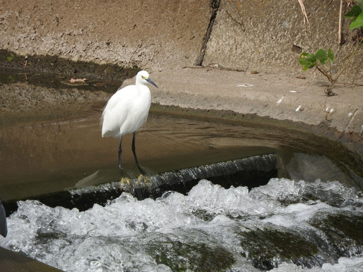 小鷺(こさぎ) 散策路河川 2020/10/03撮影