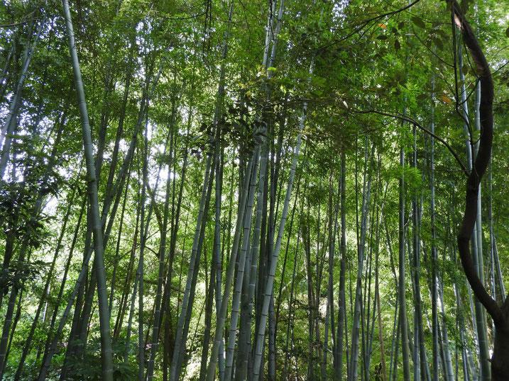 親水緑道の竹林 2020/08/04撮影