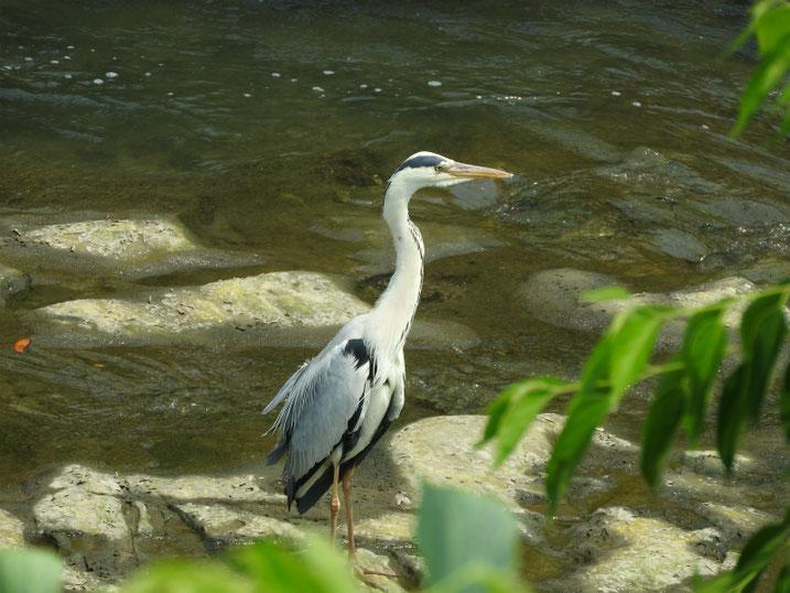 青鷺(あおさぎ) 散策路河川 2021/06/08撮影
