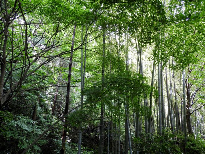 5月の親水緑道の竹林 2020/05/11撮影