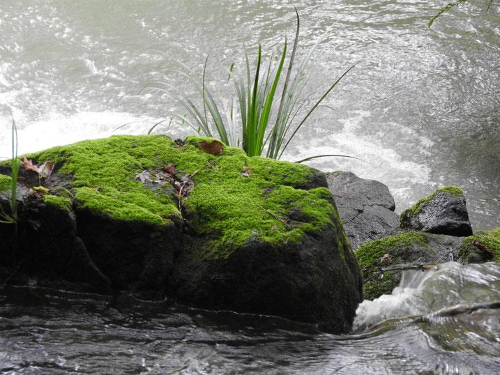親水緑道の苔岩 2020/09/27撮影
