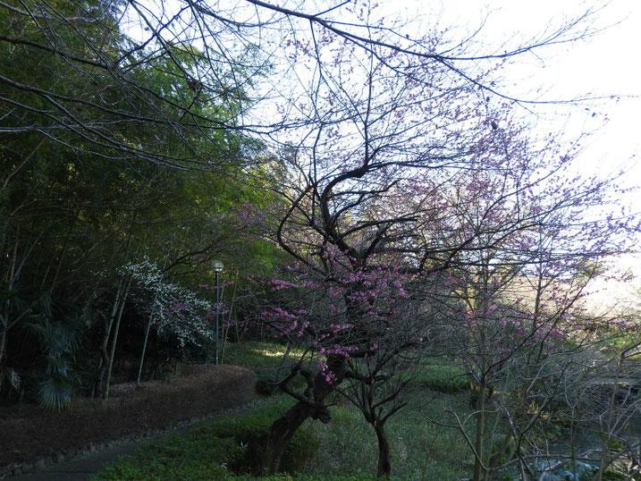 紅梅(こうばい) 親水公園 2020/02/18撮影
