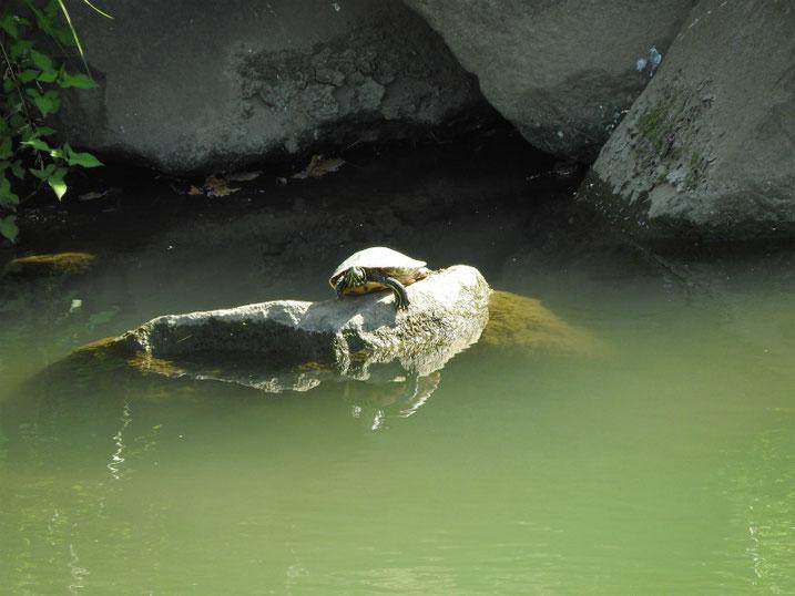 アカミミガメ 散策路河川 2020/06/10撮影