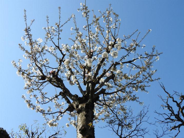 散策路の桜 2021/03/24撮影
