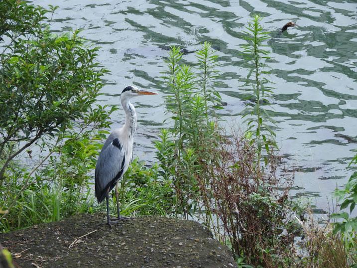 青鷺(あおさぎ) 散策路河川 2020/07/19撮影